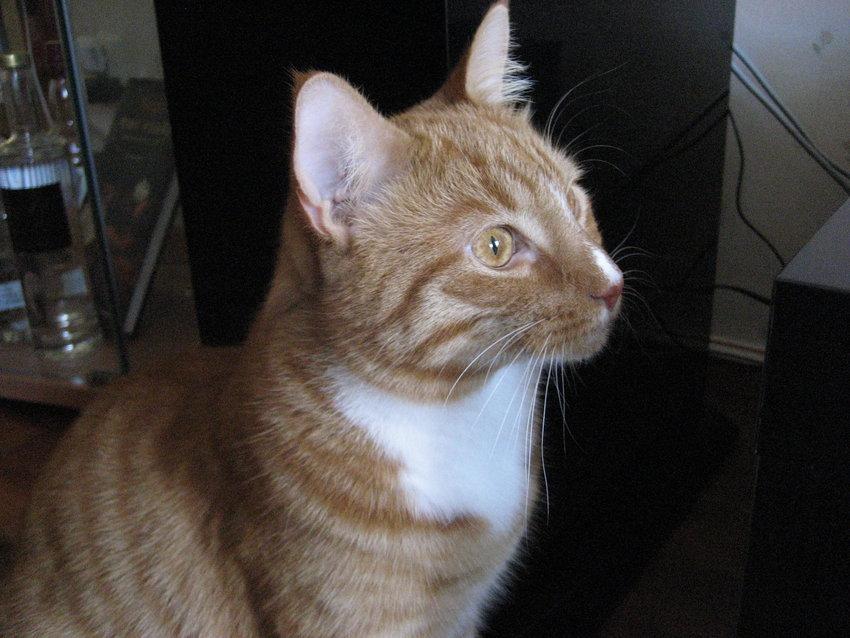 vår hemabiokatt han brukar sitta i sofan och slö titta när det är en bra rulle på tv
